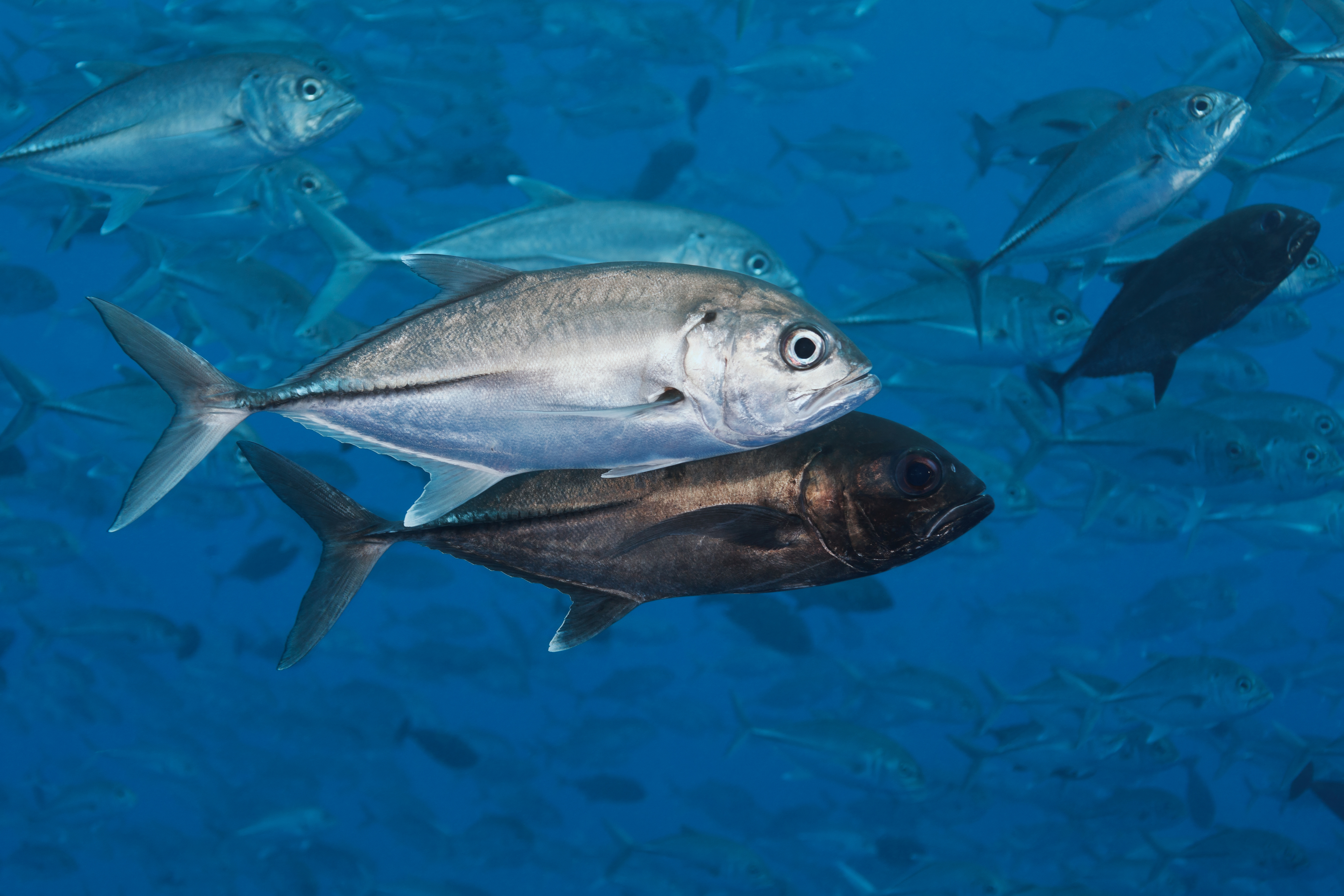 Big Eye Trevally