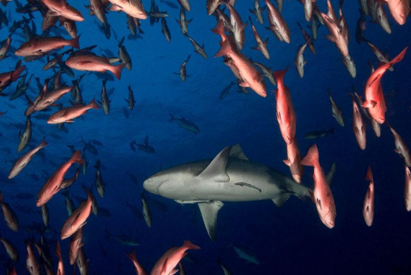 Bullhead Shark Inside Snapper School