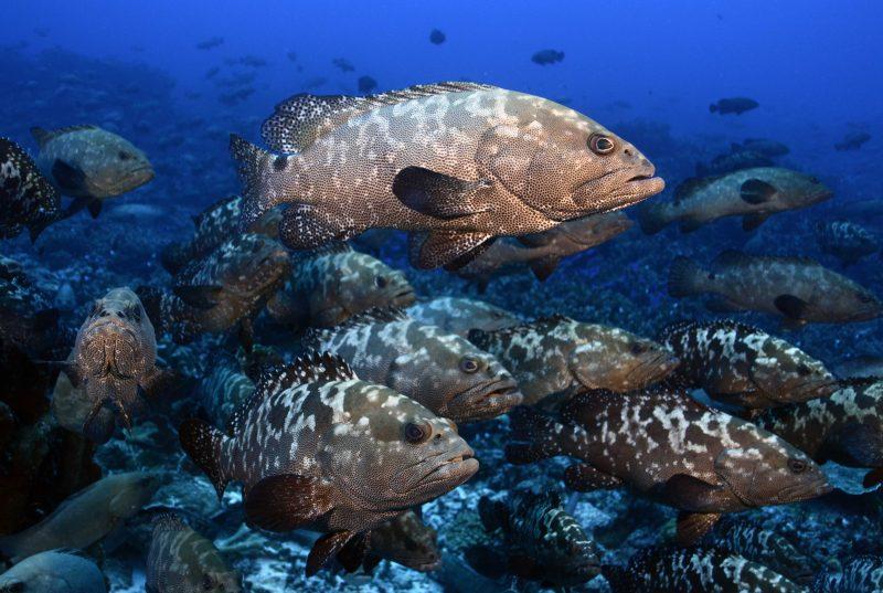 Camouflage grouper aggregation. Credit: Yvonne Sadovy