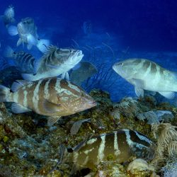 Fish Spawning Aggregations in the Mesoamerican Reef