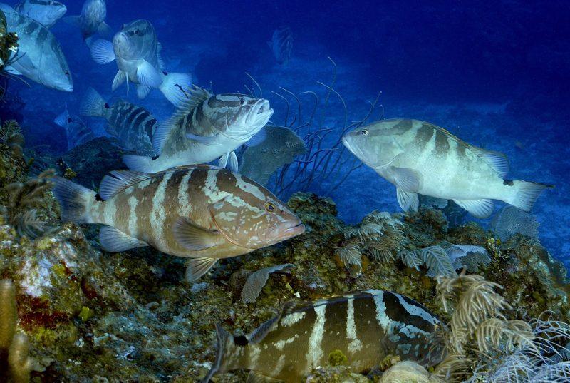 Nassau Grouper. Credit: Enric Sala