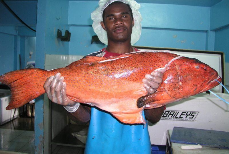 Plectropomus leopardus, leopard coral trout, Fiji, large adult. Credit Randy Thaman