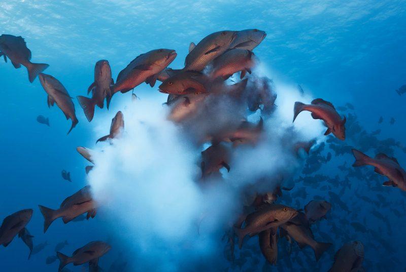 Lutjanus bohar, twinspot snapper spawning in Palau. Credit: Tony Wu (www.tonywublog. com)