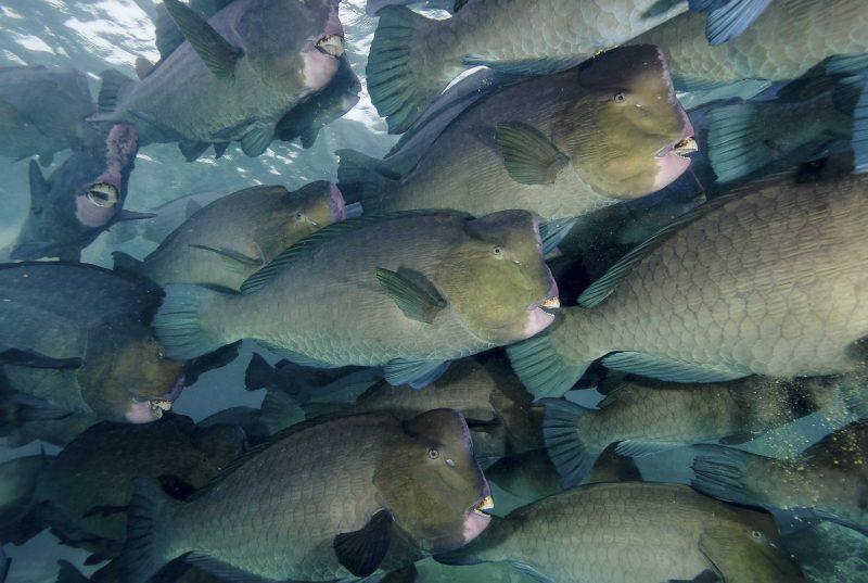 Bumphead parrotfish, Bolbometopon muricatum, Sipadan Island, Malaysia, Indo-Pacific Ocean. Credit: Jonathan Bird / BluePlanetArchive.com