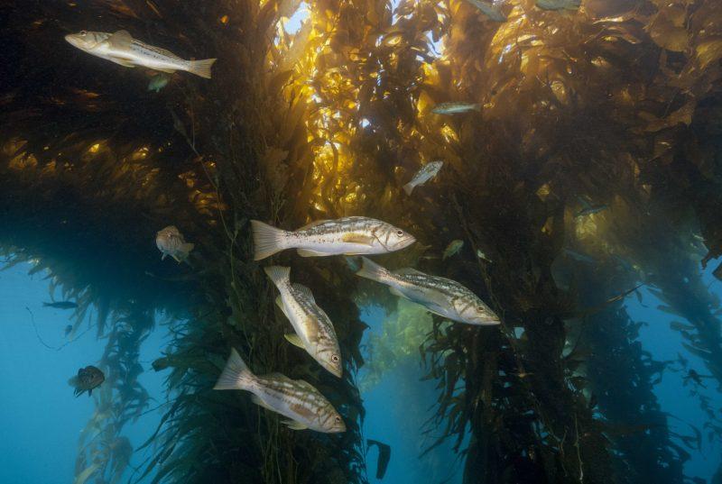 Kelp bass, Paralabrax clathratus, in giant kelp forest, Macrocystis pyrifera, Baja California, Mexico, Pacific Ocean. Credit: Reinhard Dirscherl / BluePlanetArchive.com