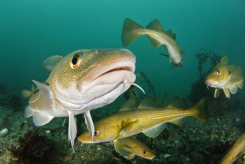 Atlantic Cod in spawning aggregation. Photo: Wolfgang Poelzer© SeaPics