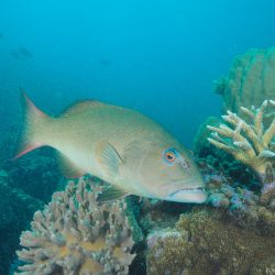 Coral Trout numbers continue to climb in no-take marine reserves